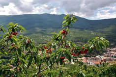 http://guias-viajar.com/ Arboles llenos de cerezas en el Valle del Jerte