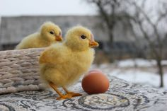Needle Felted chick,Waldorf,Yellow Easter chick,Ready to ship