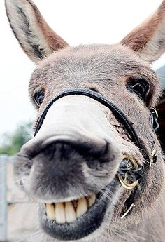 If you wonder what a donkey can eat, you can find all important feeding facts here. Take good care of your donkey with best information. Smiling Animals, Happy Animals, Farm Animals, Animals And Pets, Funny Animals, Cute Animals, Funny Pets, Zebras, Beautiful Creatures