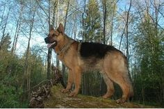 How to Train a German Shepherd to Be a Guard Dog   eHow