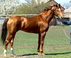 Don horse. The Don played an important role in the development of many other USSR-developed breeds, including the Budyonny. Img: Породы: Буденновская - О лошадях | КОНОВОД
