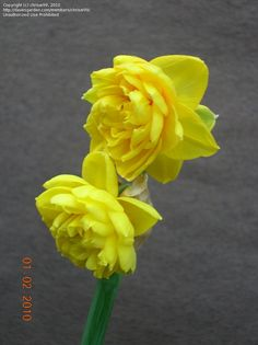 PlantFiles Pictures: Double Narcissus, Double Daffodil ...