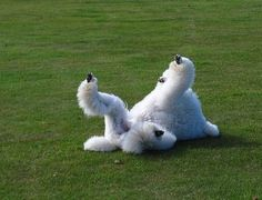 Poodle enjoying the back rub on the grass does your fur friend like to do the same???