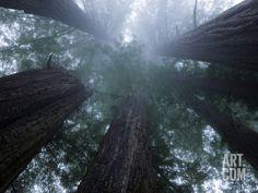Coastal Fog Covers Redwood Treetops in the Lady Bird Johnson Grove Photographic Print by Michael Nichols at Art.com