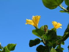 Against a perfectly clear blue sky glorious, bright yellow hibiscus blooms dance along Park Avenue in Winter Park, Florida.