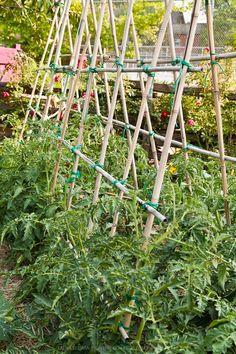 Vegetables growing in a kitchen garden. Bamboo Trellis, Bamboo Garden, Vegetable Garden, Kinds Of Vegetables, Growing Vegetables, Pergola With Roof, Diy Pergola, Tomato Support, Farm Gardens