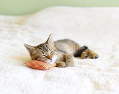 Bennie, with her teeny tiny pillow.  She's available at the Houston SPCA, open 7 days a week, along with her 4 brothers and sisters.  Someone dropped the kittens off at DePelchin Children's center, a facility that helps human children find Foster and Adoptive homes.