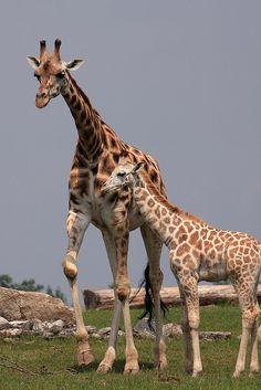 Giraffe family, via Flickr.