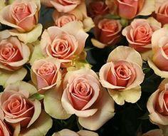 Ilse - Spray Rose - Roses - Flowers by category   Sierra Flower Finder