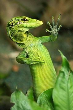 Due to a flaw in its DNA, this Commando Lizard reject is unable to distinguish his right hand from his left. Thus he is only able to count to five.