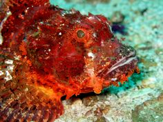 Don't step on this grumpy fella! Scorpionfish are among the most venomous fish.
