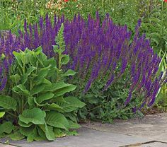 Salvia x sylvestris May NightFall Shipped.  Deer resistant,  hardy,  cut back hard after first bloom for 2nd flowering.  White flower gardens