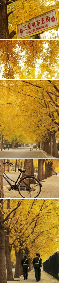 Beijing now is soaking in the softness of the golden ginkgo leaves.
