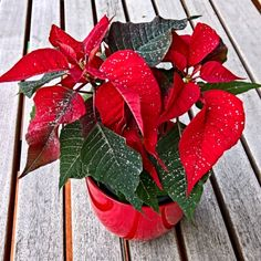 All later image Poinsettia, Christmas Wreaths, Merry Christmas, Clark Art, December 25, Houseplants, Free Images, Lettering, Gardening