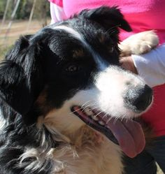 Meet Otto a Petfinder adoptable Australian Shepherd Dog Australian Shepherd Dogs, Australian Cattle Dog, Prattville Alabama, Pet Adoption, Animal Adoption, Save A Dog, Types Of Animals, Working Dogs, Rescue Dogs