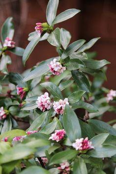 Botanical name: Daphne odora  Common name: Winter daphne  Origin: Native to China and Japan  USDA zones: 7 to 9