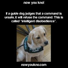 guide dogs for the blind trains their dogs 'intelligent obedience' for their graduates' safety