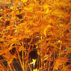 Acer palmatum Bihou - Bi Ho Golden Bark Japanese Maple Bi Hoo - Fantastic Year Round Colour