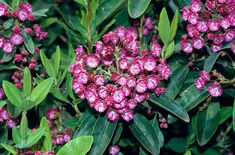 Kalmia angustifolia f. rubra Red sheep laurel -- >3 ft, rounded, spreading. Native in rocky barrens to wet soils in semishade sites. Prefers acidic, cool, readily drained soils in full sun. Leaves are medium green to blue green above and light green below. Small cluster of purple or crimson  owers develop in mid-June or early July.