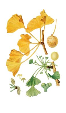 drawing: ginkgo.png