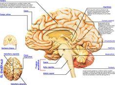 Anatomia del cerebro.