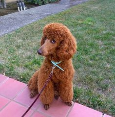 The Poodle Patch — Meet the very cute and adorable Cayenne… Red Poodles, French Poodles, Standard Poodles, Poodle Cuts, Poodle Mix, Cortes Poodle, Moyen Poodle, Poodle Haircut Styles, Cute Puppies