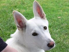 I want another white german shepherd SO bad!!!  Mine looked just like this :)