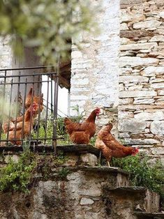 Girls went for a Walk again. My Daughter loved opening the Coop gate and leaving the Chickens out. 67 Rhode Island Reds in the backyard - Ana Rosa⚜️ Chickens And Roosters, Pet Chickens, Raising Chickens, Chickens Backyard, Fancy Chickens, Country Life, Country Living, Country Charm, Farm Animals