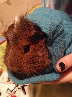 Ginny pig