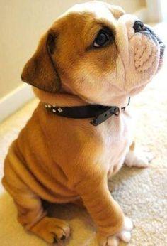 Bulldog Puppy :) I'm in love!! He is soo cute!!