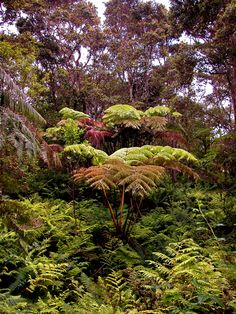Tree ferns proliferate in the interior of the Hawaiian rain forest. Feral hogs, however, destroy the native ferns by digging up their roots. Conservation organizations have responded by removing the hogs and other exotics from these protected sites.