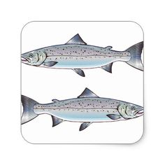 #fishing - #Atlantic Salmon ocean fish illustration Square Sticker