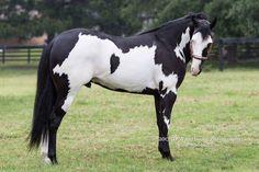 tickled-fancy — Tranquility Ranch LLC Friesian, Appaloosa, Cute Horses, Beautiful Horses, American Paint Horse, Types Of Horses, Horse Breeds, Wild Horses, Equestrian