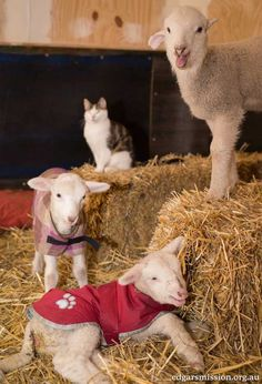 Stitch the Rescue Kitten Becomes Vet Nurse for Rescue Farm Animals Animal Pictures, Funny Pictures, Animals Photos, Farm Animals, Cute Animals, Unusual Animal Friendships, Nurse Photos, Sheep And Lamb, Sheep Farm