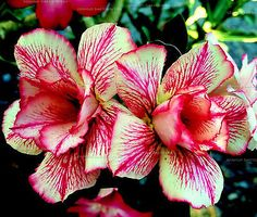 Adenium Obesum Double Black | Adenium Obesum (desert rose) Double Beauty Cream, 5 seeds