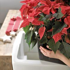 punainen joulutähti