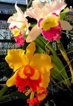 Beautiful Anggrek Orchids | Dreaming Gardens
