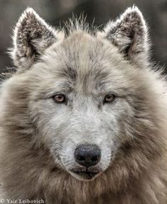 POLAR WOLF PORTRAIT by Yair-Leibovich