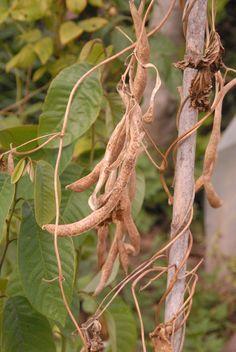 feijão seco, pronto a colher para guardar (para semente ou para comer)