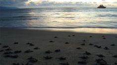 I Heart Puerto Vallarta : Turtles galore!!!!