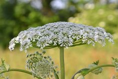 An enormous plant that can blind you and cause third degree burns might sound like something out of a creepy old horror movie, but the real-life risks are all too real. Giant hogweed is a highly toxic and dangerous invasive species that can cause… Giant Hogweed Plant, Botanical Gardens, Green Leaves, Bonsai, Gardening Tips, Perennials, Blinds, Canning, Gardens