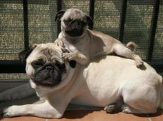Pug pug. My pug does this to me all the time.
