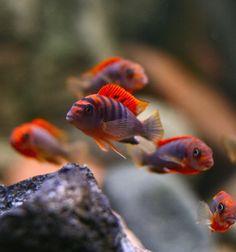 "Labidochromis ""Kimpuma"" red"