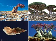 Socotra Island, which is part of a group of 4 islands, has been geographically isolated from mainland Africa for the last 6 or 7 million years. Like the Galapagos Islands, this island is teeming with 700 extremely rare species of flora and fauna, a full 1/3 of which are endemic, i.e. found nowhere else on Earth.
