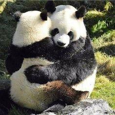 Pandas will often head south they have been helping at panda baby the red panda. Panda Hug, Big Panda, Baby Panda Bears, Baby Pandas, Cute Funny Animals, Funny Animal Pictures, Cute Baby Animals, Wild Animals, Panda Mignon