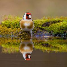 A goldfinch reflecting in the water. ❥ My website: http://fionachilds.com ❥ Instagram: http://instagram.com/fionavchilds ❥ Facebook: https://www.facebook.com/FiFiChilds