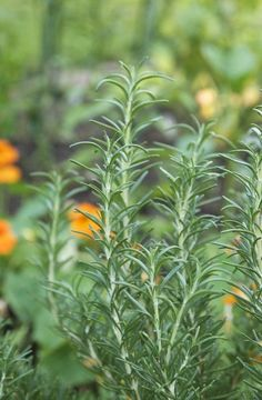 Everything You Need to Know About Growing Rosemary — Herb Gardening 101 | The Kitchn