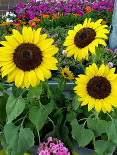 Sunflowers (Helianthus) brighten a summer flower or vegetable garden. Easy to grow from seed or try container varieties for a season full of sunshine. Learn more about it on The Home Depot Garden Club's plant search feature.