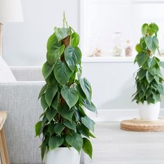 Buy heart-leaf philodendron scandens: delivery by waitrose garden in Philodendron Scandens, Mousse, Indoor Plant Pots, Pot Plants, Indoor Gardening, Cheese Plant, Living Vintage, Hanging Succulents, Potting Soil