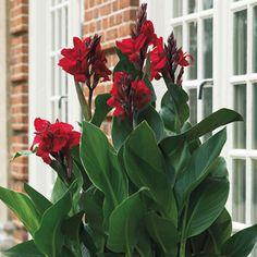 Canna Lily (Canna x generalis)